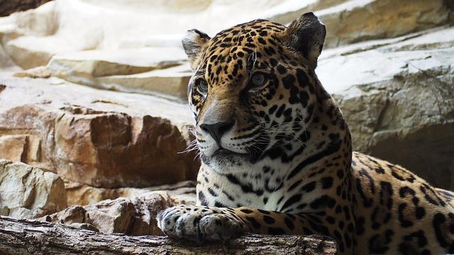 jaguar-1416524_640